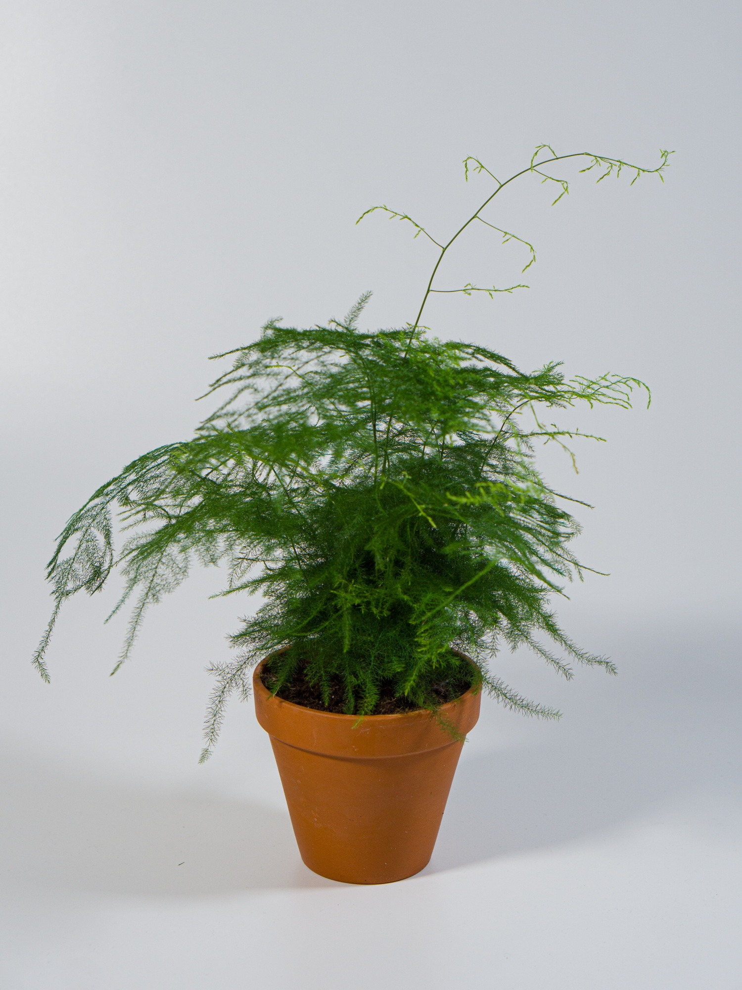 Asparagus Fern Asparagus Densiflorus For Sale In Bristol Little Green